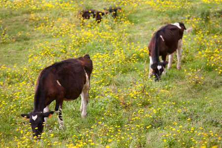 portugal agriculture: Registered young cows grazing in the countryside. Azores. Portugal. Horizontal