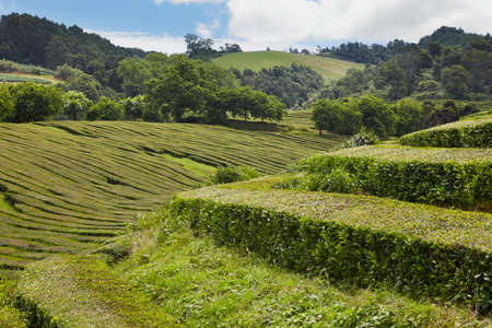agriculture azores: Traditional tea plantation in Sao Miguel, Azores. Portugal. Horizontal