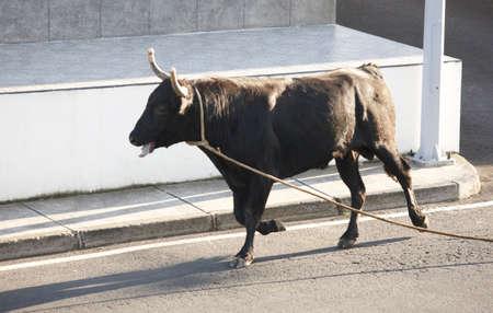 feast: Traditional azores bullfighting feast in Terceira. Portugal. Touradas a corda. Horizontal Stock Photo