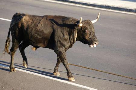 bullfighting: Traditional azores bullfighting feast in Terceira. Portugal. Touradas a corda. Horizontal Stock Photo