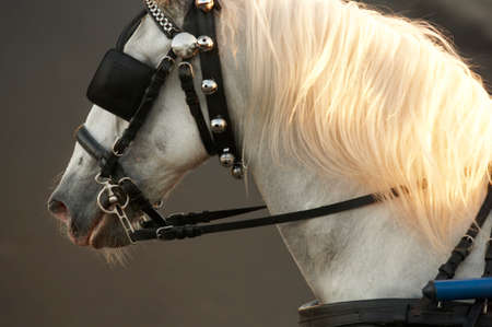 draught horse: White draught horse head with grey background. Horizontal