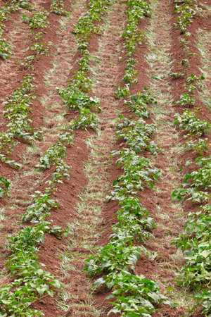 sustain: Green leaves on a red soil plantation in Sao Jorge. Azores. Vertical