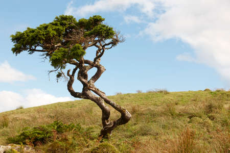 pinaceae: Lonely cedrus tree in a Pico island meadow. Azores. Portugal. Horizontal Stock Photo