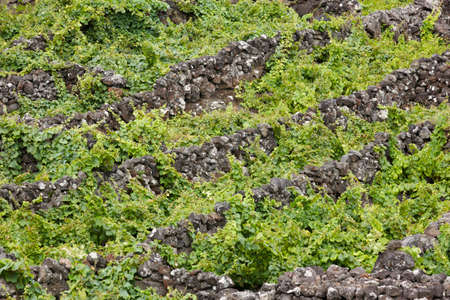 agriculture azores: Traditional vineyard plantation in Pico island. Azores. Portugal. Currais. Horizontal