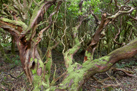 subtropical: Subtropical green forest in Flores island, Azores archipelago. Portugal. Horizontal