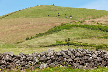 Azores rural landscape in Sao Miguel. Cows over the hill. Portugal Stock Photo