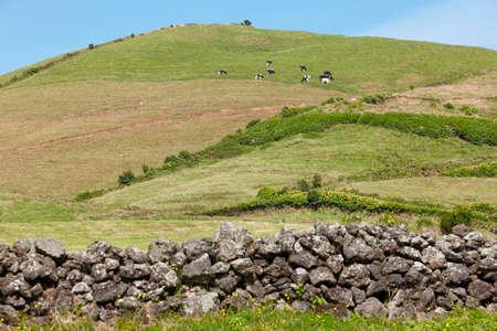 touristic: Azores rural landscape in Sao Miguel. Cows over the hill. Portugal Stock Photo