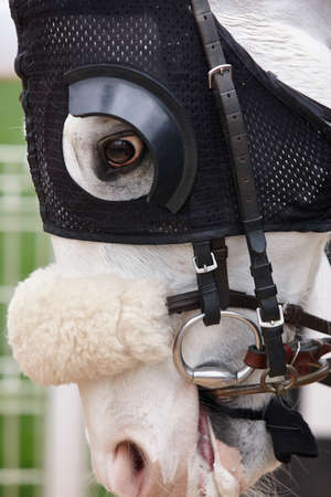 blinkers: White race horse head with blinkers. Paddock area. Vertical