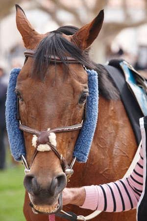 hippodrome: Race horse head ready to run. Paddock area. Vertical Stock Photo