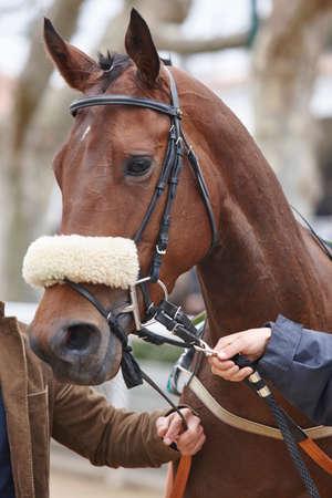 racetrack: Race horse head detail ready to run. Paddock area. Vertical