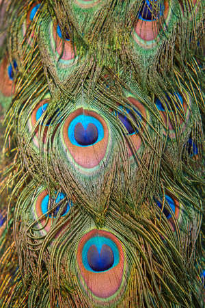 Colorful peacock feather detail. Natural bright color design. Vertical Stock Photo