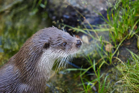floating: Otter head in wilderness. Wildlife animal background. Horizontal