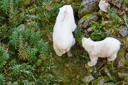 Polar bear with his cub. Wildlife animal background. Horizontal