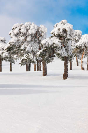 Snowy forest landscape in winter time. Navacerrada, Madrid, Spain. Scenery Stock Photo