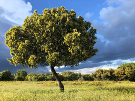 Holm oak in the meadow with dramatic sky. Spanish landscape Stock Photo