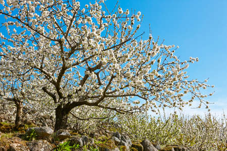 Kersenbloesem in Jerte Valley, Caceres. Lente in Spanje. Seizoen Stockfoto