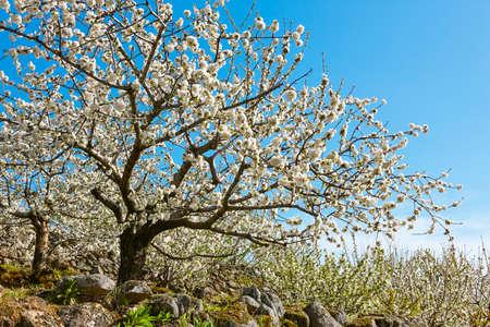 Kwiat wiśni w Dolinie Jerte, Caceres. Wiosna w Hiszpanii. Pora roku Zdjęcie Seryjne