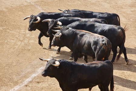 Fighting bulls in the arena. Bullring. Toro bravo. Spain. Horizontal
