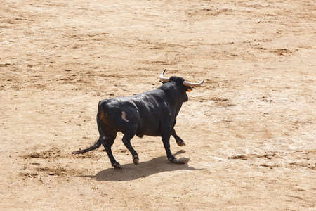 Fighting bull in the arena. Bullring. Toro bravo. Spain. Horizontal