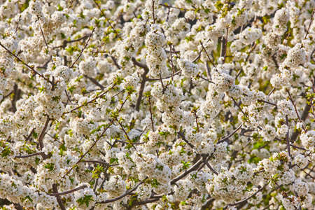 Cherry blossom in Jerte Valley, Caceres. Spring in Spain. Seasonal Foto de archivo - 108960031