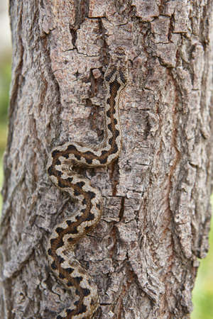 Snake camouflage. Vipera aspis detail on a trunk surface. Vertical Stockfoto