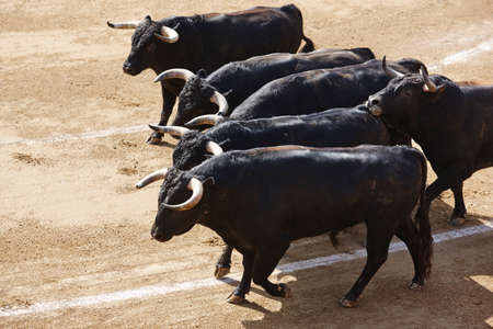 Fighting bulls in the arena.