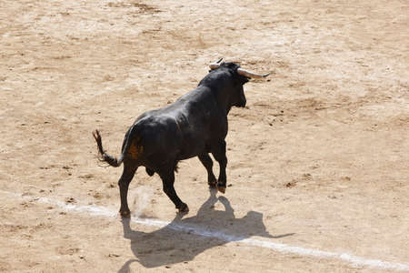 Fighting bull in the arena.