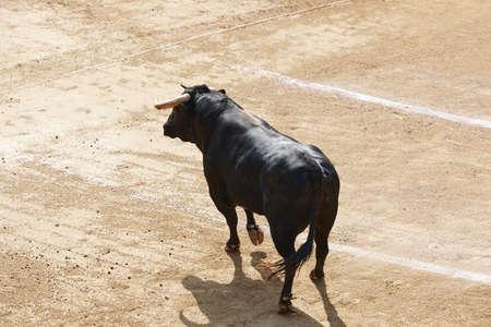 Fighting bulls in the arena.. Toro bravo. Spain.