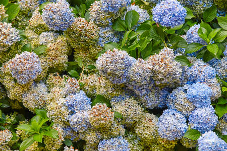 Bunches of blue and yellows hydrangeas. Colorful flowers background. Horizontal