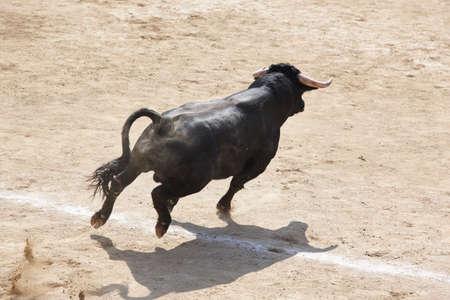 Fighting bull running in the arena. Stock Photo