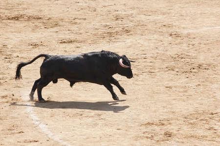 Fighting bull in the arena. Stock Photo
