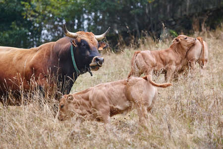 Bull and calves in the countryside. Cattle, livestock. Mammal Stock Photo