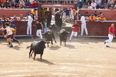 Fighting bulls running the arena. Encierros San Sebastian Reyes. Spain