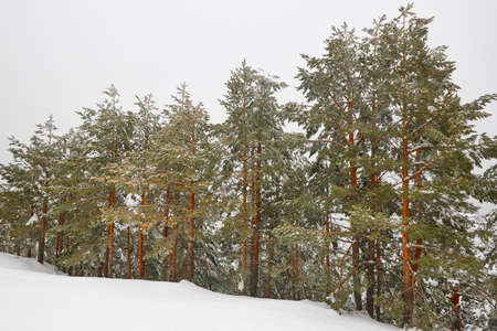 Snow winter landscape. Pine wood forest. Navacerrada, Spain. Horizontal Stock Photo