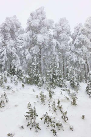 Snowy winter landscape. Pine wood forest. Navacerrada, Spain. Horizontal