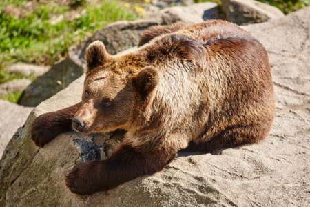 Brown bear sitting on a rock. Wildlife environment. Wild animals