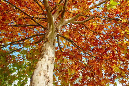 Tree with autumn leaves on golden tone. Lush nature. Horizontal Stock Photo