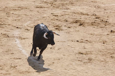 Fighting bull in the arena. Bullring. Toro bravo. Spain. Horizontal Stock Photo