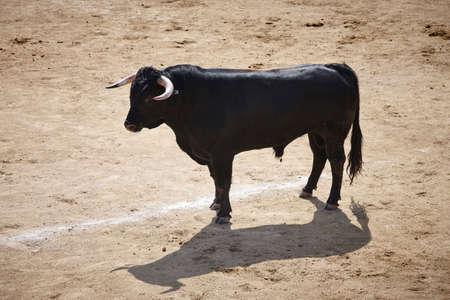 Fighting bull in the arena. Bullring. Toro bravo. Spain. Horizontal Stock Photo