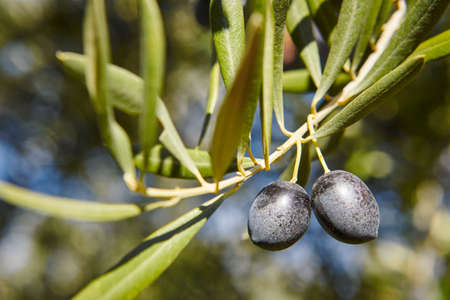 Olive fruit with green leaves background. Agriculture background. Jaen, Spain