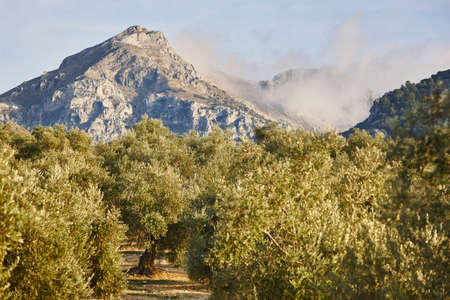 Olive tree fields in Andalusia. Spanish agricultural harvest landscape. Jaen Stock fotó