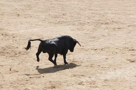 Fighting bull charging in the arena bullring. Toro bravo. Danger