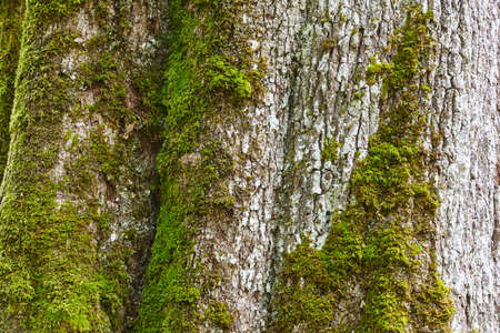 Green moss on a tree trunk. Nature surface textured background.