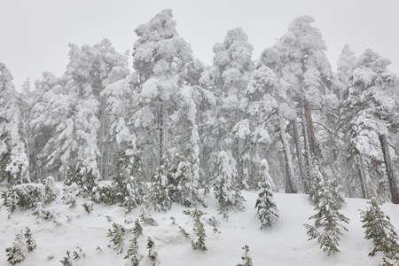 Snow winter landscape. Pine wood forest. Navacerrada, Spain. Horizontal Stock Photo