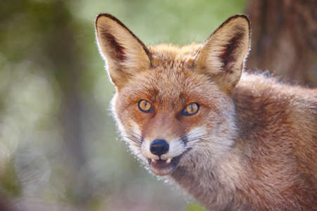 Fox head with geen background. Wildlife in the forest. Animal