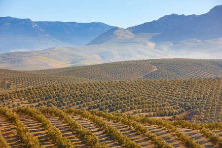Olive tree fields in Andalusia. Spanish agricultural harvest landscape. Jaen 版權商用圖片