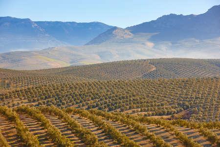 Olivenbaumfelder in Andalusien. Spanische landwirtschaftliche Erntelandschaft. Jaen Standard-Bild