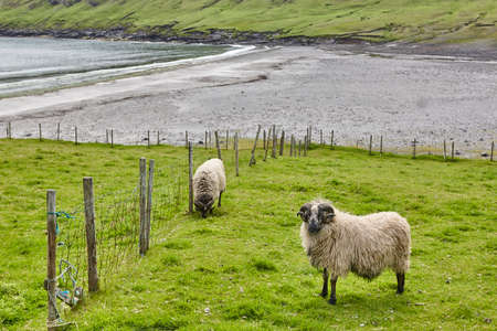 Traditional Faroe landscape with grazing sheeps and Atlantic ocean. Europe