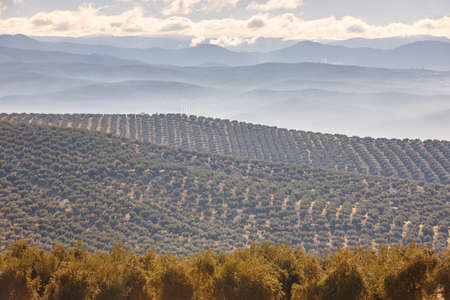 Olive tree fields in Andalusia. Spanish agricultural harvest landscape. Jaen 스톡 콘텐츠
