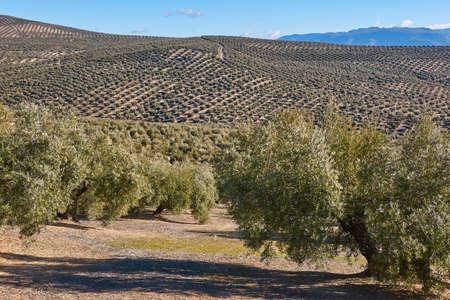 Olivenbaumfelder in Andalusien. Spanische landwirtschaftliche Erntelandschaft. Jaen